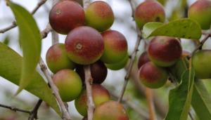 camu-camu-beere-kirsche-frucht-vorteile