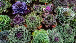 Nutzen für die Gesundheit von Grünkohl, Nährwertangaben und Zubereitung